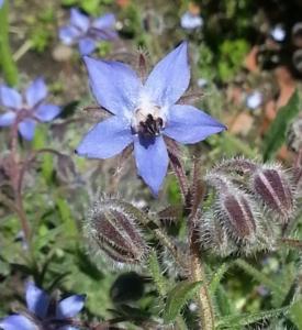 domaine-de-rochebelle-plantes-aromatiques-medicinales-bourrache